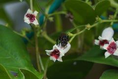 Macro cercana para arriba de una abeja negra de la miel del insecto en las hojas y las flores Imagen de archivo
