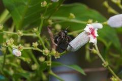Macro cercana para arriba de una abeja negra de la miel del insecto en las hojas y las flores Fotografía de archivo