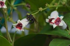 Macro cercana para arriba de una abeja negra de la miel del insecto en las hojas y las flores Imágenes de archivo libres de regalías