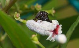 Macro cercana para arriba de una abeja negra de la miel del insecto en las hojas y las flores Foto de archivo