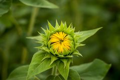 Macro/cercano para arriba de un pequeño girasol amarillo con los pétalos cerrados y las hojas verdes imagenes de archivo