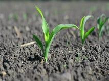 Macro cereale nella fase di tre foglie video d archivio