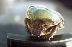 Macro of Cetonia Aurata - green rose chafer 4 Royalty Free Stock Photo