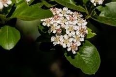 Macro of a cherry blossom Royalty Free Stock Photo