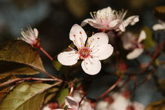 Macro cherry blossom Stock Images