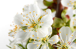 Macro of cherry blossoms Royalty Free Stock Images