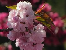 Macro View of Cherry Blossoms royalty free stock image