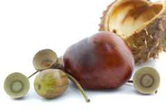 Macro of a chestnut and acorn Royalty Free Stock Photography