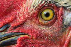 Macro of a chicken eye. Close up of a chicken eye royalty free stock photos