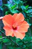Macro of China Rose flower Stock Photography