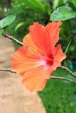 Macro of China Rose flower Stock Photos