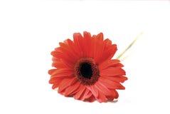 Macro of chrysanthemum Royalty Free Stock Photo