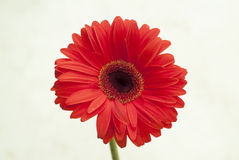 Macro of chrysanthemum Royalty Free Stock Photos