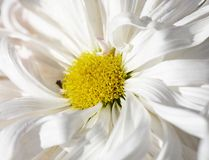 Macro of chrysanthemums Royalty Free Stock Photography