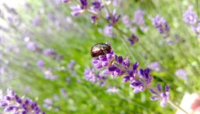 Chrysolina Americana on Lavender Stock Images