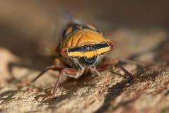 Macro of Cicada Royalty Free Stock Photo