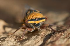 Macro of Cicada. On rock Royalty Free Stock Photo