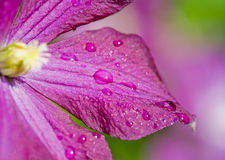 Macro of a Clematis Royalty Free Stock Photography