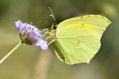Cleopatra butterfly feeding on flower Stock Image