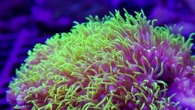 Macro clip dei polipi di corallo molli verde intenso della stella che si muovono piacevolmente in corrente stock footage