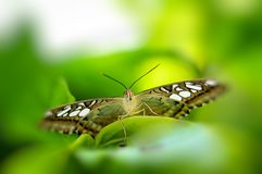 Macro Clipper butterfly Royalty Free Stock Photo
