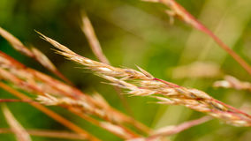 Macro cloe up of forming seeds in a red hued flowing grass royalty free stock image