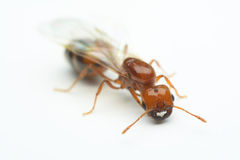 Macro close-up ant with wings Stock Images