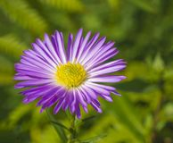 Macro close up  beautiful pink violet daisy flower on green vege Royalty Free Stock Images