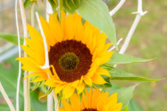 Macro close up of beautiful yellow sunflowers in a countryside field Stock Images