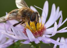 Macro close up of bee on a flower collecting pollen photo taken in the UK stock images