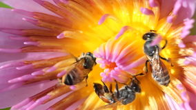 Macro close up bee with water lily or lotus. Macro close up bee with water lily or lotus, macro close up stock video