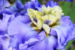 A purple `Beg To Differ` Iris in bloom. stock photos