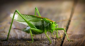 Macro close up big green locust grasshopper on wooden table royalty free stock photos