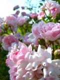 Macro Close Up of Blooming Pink Rose Flowers in Flower Garden Stock Image