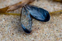 Macro close up of a blue mussel with detailed sand grains royalty free stock photo