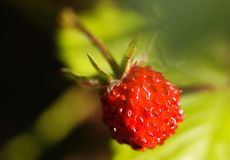 Macro close up of bright shining isolated wild red strawberry Fragaria vesca fruit hanging on a twig with green blurred leaves stock photos