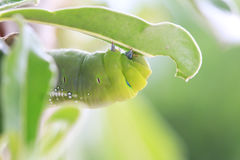 Macro close up Caterpillar, green worm. Stock Photography