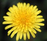 Macro close up Dandelion Stock Image