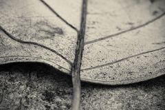 Macro close up of detail dead leaf lying on the floor in black and white. Background Stock Photography