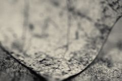 Macro close up of detail dead leaf lying on the floor in black and white. Background Royalty Free Stock Image