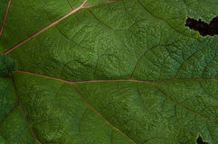 Macro close up detail of large green leaf. With veins Royalty Free Stock Photography