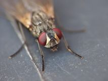 Macro close up detail shot of a common house fly with big red eyes taken in the UK. Macro lens close up detail shot of a common house fly with big red eyes taken stock image