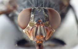 Macro lens close up detail shot of a common house fly with big red eyes taken in the UK. Macro close up detail shot of a common house fly with big red eyes taken stock photos