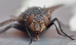 Macro lens close up detail shot of a common house fly with big red eyes taken in the UK. Macro close up detail shot of a common house fly with big red eyes taken royalty free stock photo