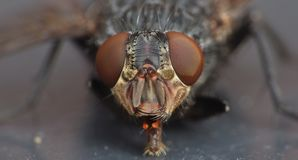 Macro close up detail shot of a common house fly with big red eyes taken in the UK. Macro lens close up detail shot of a common house fly with big red eyes taken stock images