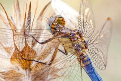 Detailed macro shot of a dragon fly. Macro close up of  a dragonfly  Anisoptera sp.  with yellows and blues Stock Image