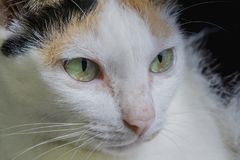 Macro close up face and eyes of white kitten cat. Royalty Free Stock Photography