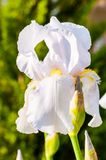 Macro close-up of gorgeous Iris flower white blooming bud. Iris is a genus of flowering plants with showy flowers royalty free stock photo