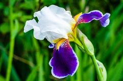 Macro close-up of gorgeous Iris flower white purple violet blooming bud. Iris is a genus of flowering plants with showy flowers royalty free stock image