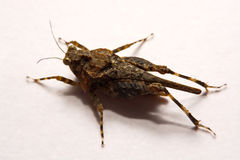 Macro / Close-up of Grasshopper on a white backing surface. Macro / Close-up of Grasshopper on a white backing surface Stock Photo